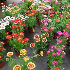 50 colorful chrysanthemum seeds chrysant chrysanthemum garden