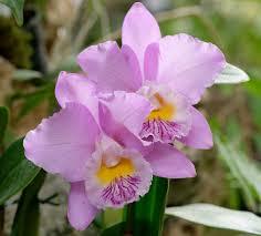 cattleya orchids cattleya orchid