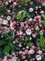 shrubs for summer and fall flowers flowering shrubs hgtv