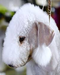 feeding a bedlington terrier 244 best grooming images on pinterest dog grooming salons dog