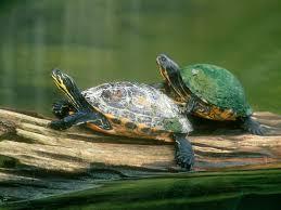 imagenes tortugas verdes fondos de pantalla de tortugas verdes wallpapers de tortugas verdes