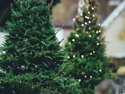 to care for and plant a live christmas tree
