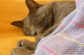 Candida And Hair Loss Infection And Thrush In Cats Symptoms Causes Diagnosis