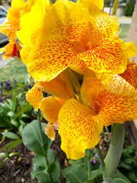 cana lilly stunning cana lilies plants gumtree australia wanneroo area