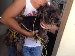 affenpinscher calgary happy tails all humane kind