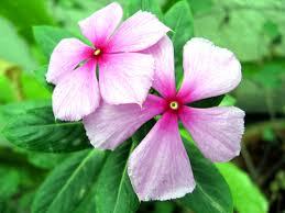 vinca flowers vinca flower photography search flowers and plants