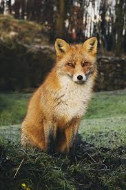 fox woods orange red animal u2014 bossfight