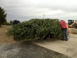 christmas tree farm missouri christmas tree nordmann fir