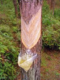tapping tree sap pine tree