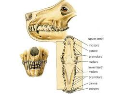 Dog Tooth Anatomy Dogs That Changed The World Photo Essay From Wolf To Dog