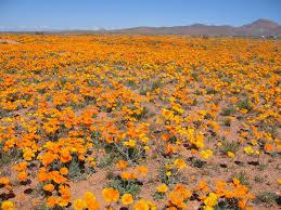 33 best desert flowers images on pinterest desert flowers