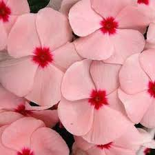 vinca flower vinca seeds madagascar periwinkle annual flower seeds