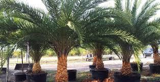 sylvester palm tree price central florida tree farm