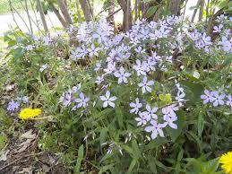 kansas native plants woodland phlox phlox divaricata is a shade loving perennial