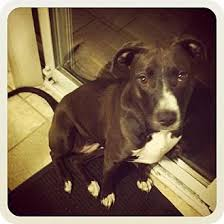 american pitbull terrier c misty adopted dog clay ny american pit bull terrier