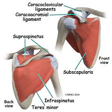Anatomy Of Rotator Cuff Page View Article