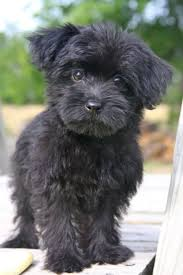 affenpinscher reviews best 20 dog haircuts ideas on pinterest maltese haircut dog