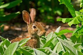 plants native to africa rabbit resistant plants u2013 what are some plants rabbits won u0027t eat
