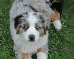 australian shepherd gray utah australian shepherd dog breeder buy a puppy breeders