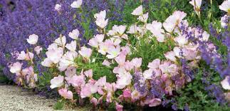 Pink Primrose Flower - evening primrose pink the diggers club