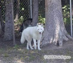 australian shepherd wolf dog or wolf mn police confiscate pet