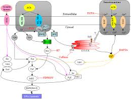 cholinergic receptor pathways involved in apoptosis cell