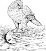 cooper u0027s hawk coloring free printable coloring pages