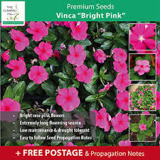 vinca flower vinca bright pink seeds large flowers madagascar periwinkle