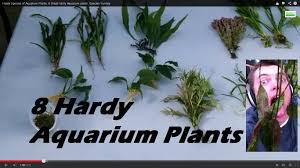 hardy species of aquarium plants 8 great hardy aquarium plants