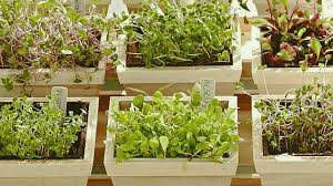 how to grow microgreens indoors gardening youtube