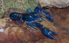 rare blue lobster caught in cape cod travel leisure