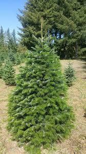 christmas trees noble fir nordman fir and grand fir farrell