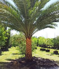 sylvester palm tree sale laurel oaks best choice for sylvester palms in the ta bay area