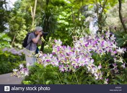 Botanical Gardens In Singapore by Singapore May Orchids In Flower Growing Outside In National Orchid