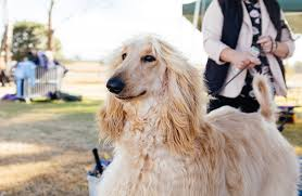 afghan hound speed afghan hound dog lover u0027s magazine