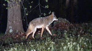 coyote 1494287859 jpg