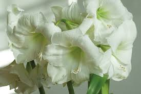 spring flower amaryllis bulbs item 7069 moscow for sale