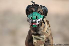 belgian malinois k9 attack gear of the dog