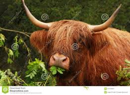 highland cow stock photography image 34764022