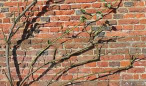 rose pruning u2013 the climbing ones the sproutling writes