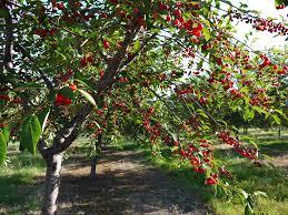 Cherry Tree Fruit - fruit blog tesa u0027s nutrition blog