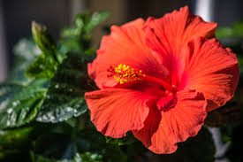 which state has a hibiscus hibiscus growing in zone 9 u2013 choosing hibiscus plants for zone 9
