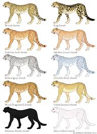 cheetah color morphs aberrant animal colors pinterest