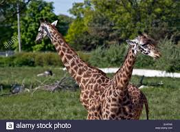Ohio wild animals images Toledo zoo stock photos toledo zoo stock images alamy jpg
