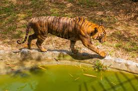 tiger is the king of the jungle tiger is in the forest