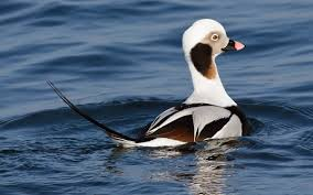 listbirds bucket list birds part iv sea ducks realtree