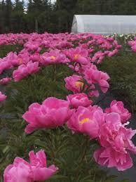 Peonies Season Alaska U0027s Finest Flowers Winnipeg Free Press Homes