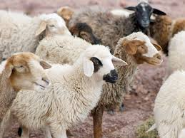 free bible images parable of a shepherd who searches for his lost