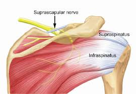 Innervation Of Supraspinatus Periarticular Ganglion Cysts Of The Shoulder Musculoskeletal Key