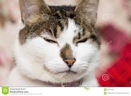 evil looking cat stock photo image 58863261